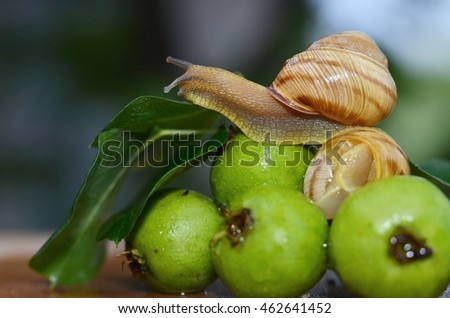 Snail sitting on green small pears
