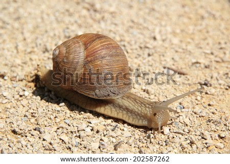 Snail walking on a dirt track