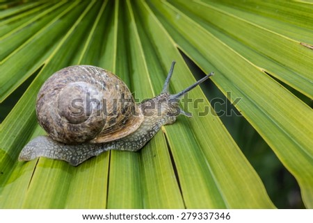 snail walking on the leaf - stock photo