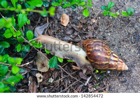 Snails in the garden eating green leaves - stock photo