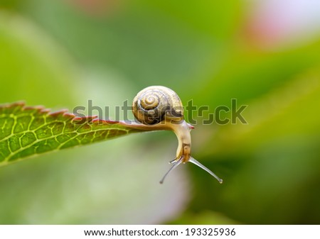 Snails on Plant Leaf in the Garden in Summer - stock photo