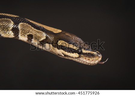 Snake a python of sand color with brown spots with a long tongue on a black background.
