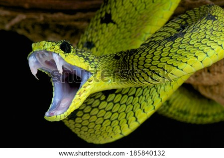 snake attack / Great lakes bush viper / Atheris nitschei