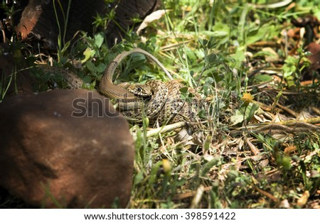 Snake attacking a lizard, Alor Mountain Range, Extremadura, Spain - stock photo
