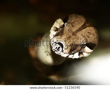 snake - boa constrictor. horror gaze. Big dangerous animal - stock photo