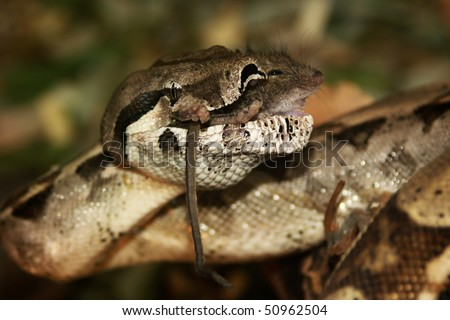 snake - boa constrictor, lunch with mice. Feeding pets cant be terrible. - stock photo