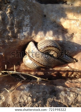 Snake coiled in a rock hole in a desert mountain. It is hidding from humans and other predators.