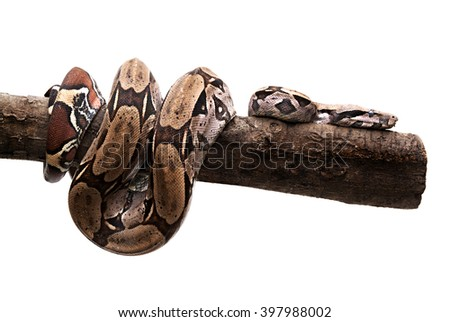 snake coiled in tree trunk on white background - stock photo