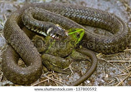 Snake eats frog - stock photo