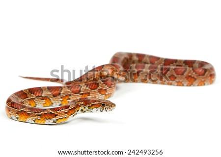 snake.elaphe guttata.young boa constrictor on a white background. - stock photo