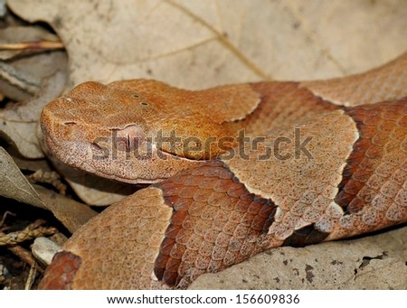 Snake head -close up of the venomous Copperhead Snake, Agkistrodon contortrix phaeogaster  - stock photo