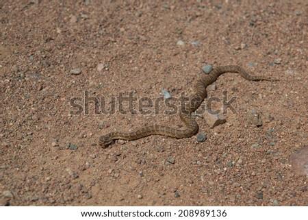 snake in the desert - stock photo
