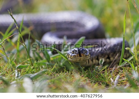 snake in the grass,Grass snake with protruding tongue, a sign of threat - stock photo