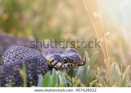 snake in the grass,Grass snake with protruding tongue, a sign of threat with sunny hotspot - stock photo