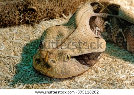 Snake in the terrarium - Gaboon viper - stock photo