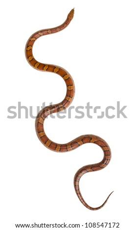 snake isolated - stock photo