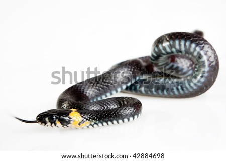 Snake isolated on white background. Grass Snake (Natrix natrix). It is not being venomous, but produce a foul-smelling fluid. - stock photo