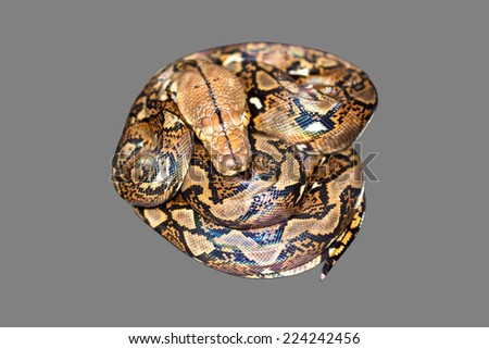 Snake on gray background. - stock photo