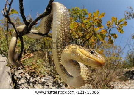 Snake portrait (Vipera berus, male) - stock photo
