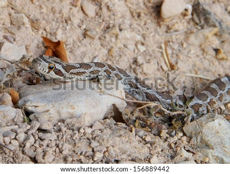 Snake sneaking after prey and camouflaged with the ground -  Great Plains Rat Snake, Pantherophis emoryi - stock photo