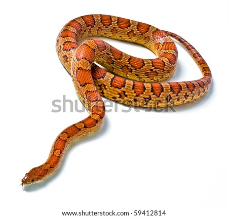snake.young boa constrictor on a white background - stock photo