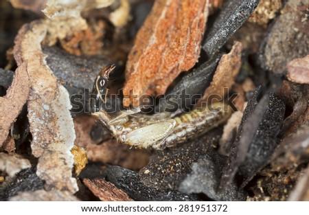 Snakeflie pupa in wood - stock photo