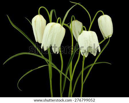 Snakes Head Fritillary (White variation) on a black background     - stock photo