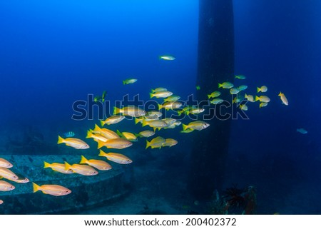 Snapper swim around the legs of a disused oilrig - stock photo