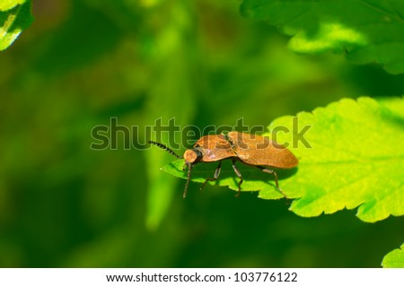 snapping beetle is stuck on the leaves.