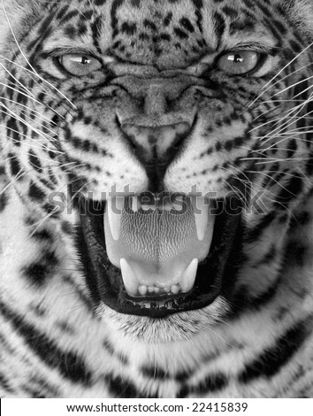 Snarling leopard in black and white - stock photo