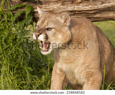 Snarling Mountain Lion Close-up - stock photo