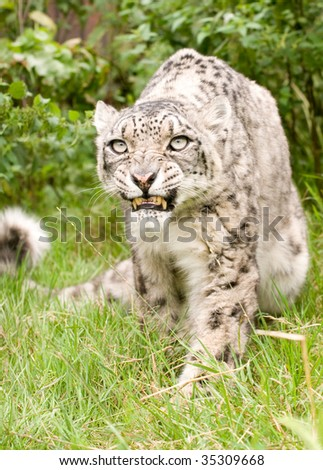 Snarling snow leopard
