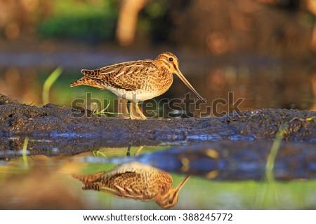 Snipe bird hunting - stock photo