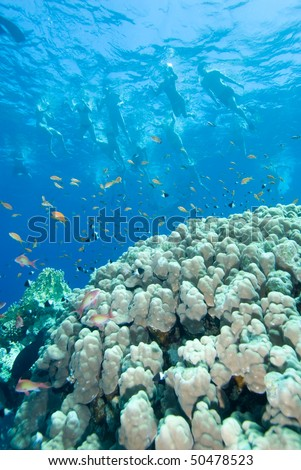 Snorkeling above a Colorful excursion in the red sea. - stock photo