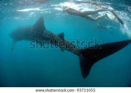 Snorkeling with a whale shark 1 - stock photo