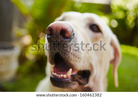 Snout of labrador retriever - selective focus - stock photo