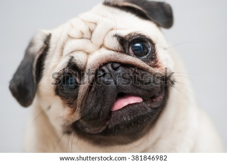Snout pug. Close-up. Soft Focus