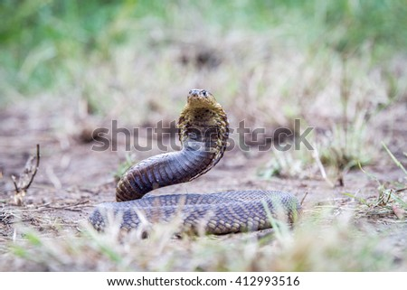Snouted cobra on the ground, South Africa. - stock photo