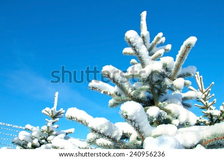Snow and ice on spruce branches. Winter time.