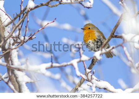 snow and robin European Robin / Erithacus rubecula - stock photo