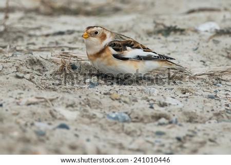 Snow Bunting foraging in the frozen mud. - stock photo