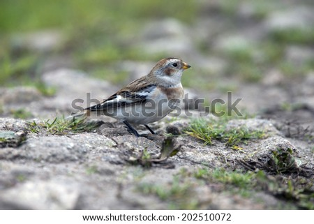Snow Bunting, male in winter plumage, Penninis Head, St. Mary's Scilly Isles, Cornwall, UK. - stock photo