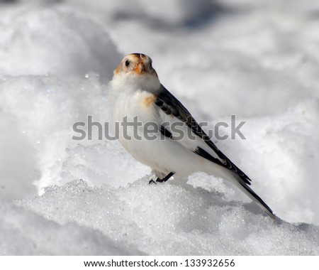 Snow Bunting  on the ground. - stock photo