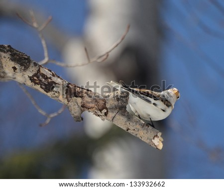 Snow Bunting perched on a branch - stock photo