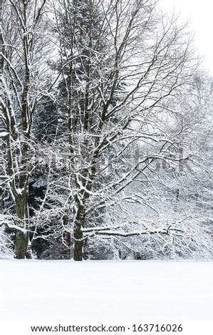 Snow covered beech trees landscape