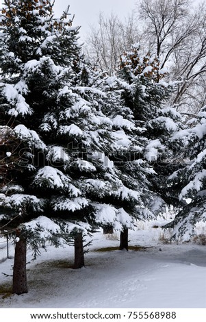 Snow covered evergreen trees.