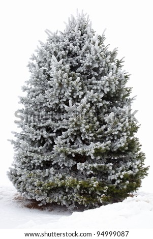 Snow covered fir (spruce) tree on white background