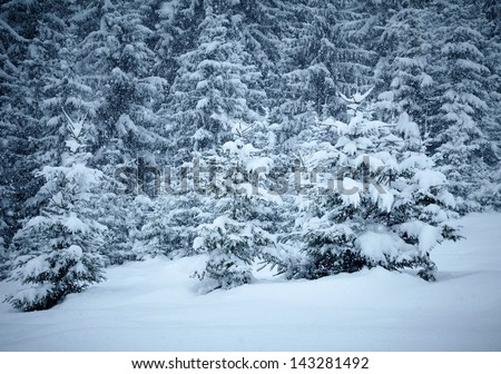 Snow covered fir trees - stock photo