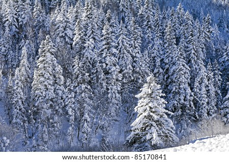 Snow-covered fir-trees in island Sakhalin mountains - stock photo