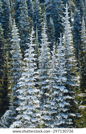 Snow Covered Forest at Mount Rainier National Park - stock photo